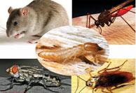 Dịch vụ diệt chuột gián