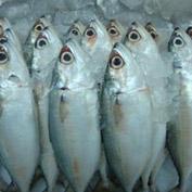 Cá thu Ấn Độ